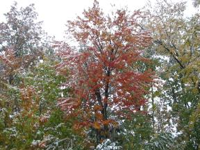 Click to enlarge: Snow-frosted autumnal trees