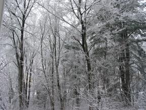 Click to enlarge: snow-covered trees